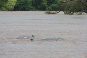 mekong-dolphin