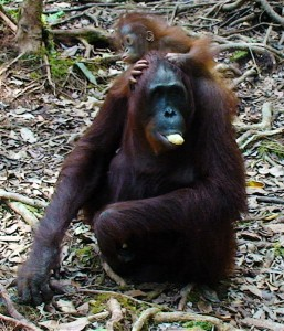 Orangutans in Borneo- cr-suite101