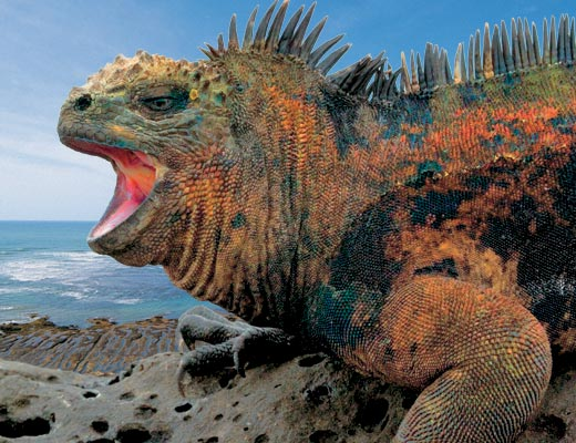Galapagos Islands - Iguana,cr-bestourism.com