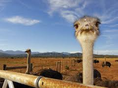 overview-ostriches
