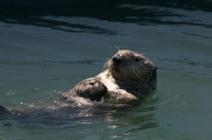 Sea Otters, Credit:carinbondar.com