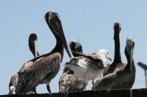 Pelican Dive - Ken Tatum