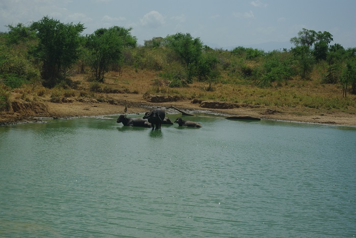 herd of Buffalo bathing in the lake