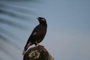 Black-Hooded Oriole,Birding Sri Lanka - Greca M Durant