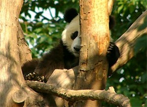 China Travel- Discover the Pandas in Chengdu