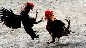 Cock fighting, credit- globalanimal.org