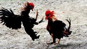 Cock fighting, credit- globalanimal.org