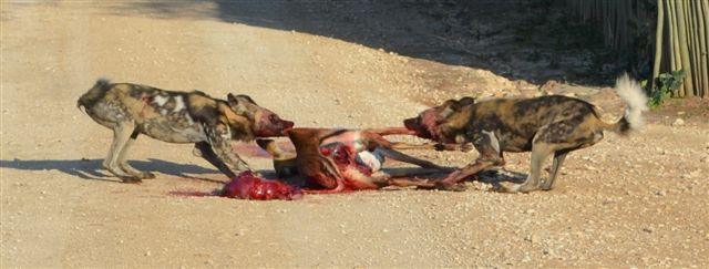 Two wild dogs tearing apart an Impala @ South Africa's Tau Game Lodge