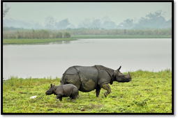 Rhinos @ Kaziranga, Image by –Far Horizon IndiaTours