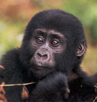 Gorilla toddler, Image wikipedia