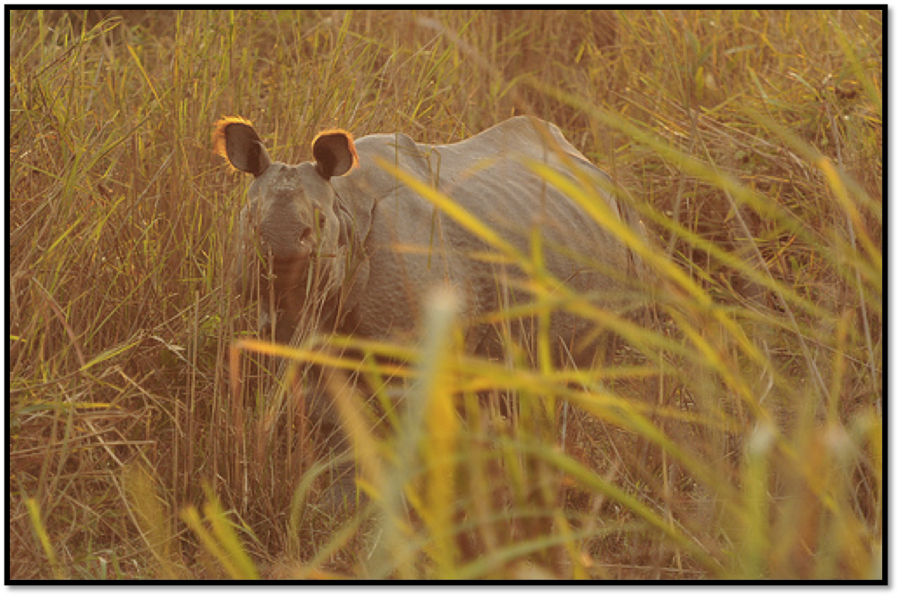 Greater One-horned Indian rhinoceros at dusk, Photo credit: Karthik