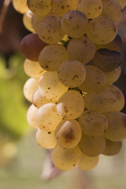 Solvang Grape Cluster